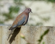 26th May 2020 - Just A Dove Sitting On The Fence DSC_8790