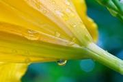25th May 2020 - LHG-5995-raindrops on daylily