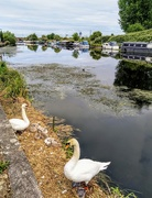 26th May 2020 - Swan family on the Lea