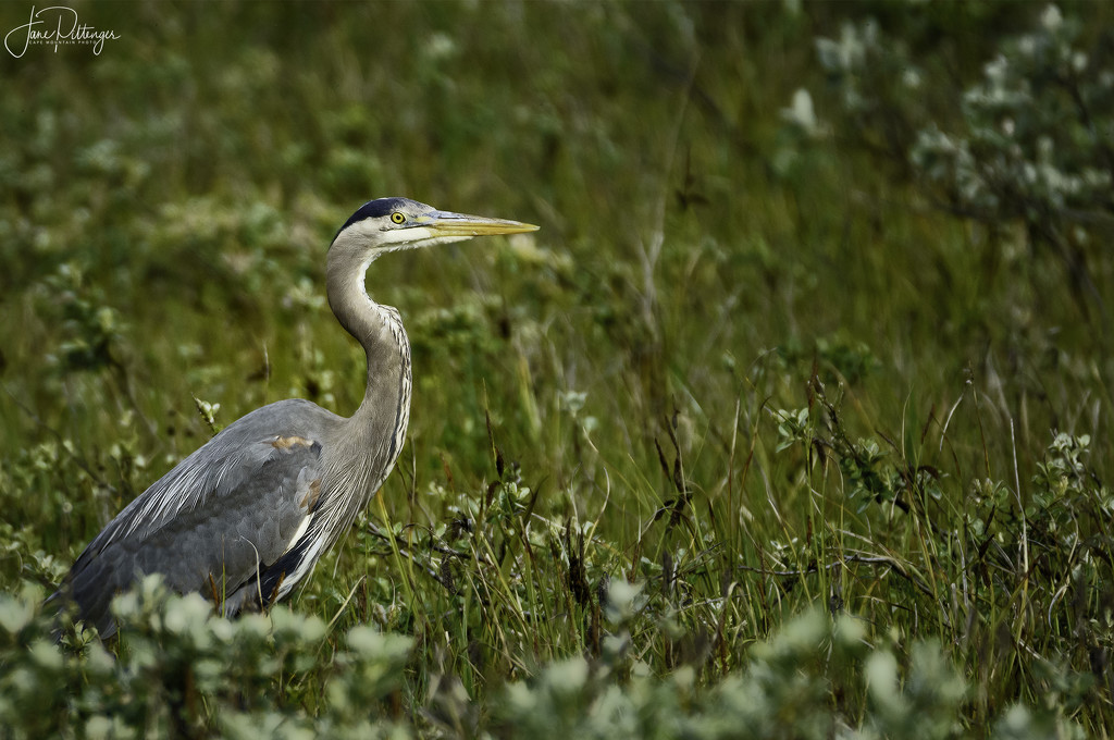 Blue Heron in the Bushes  by jgpittenger