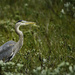 Blue Heron in the Bushes