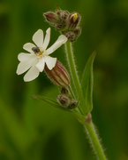 26th May 2020 - white campion
