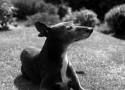 25th May 2020 - Contre Jour Whippet (Ernst Leitz Summicron f=5cm 1:2)