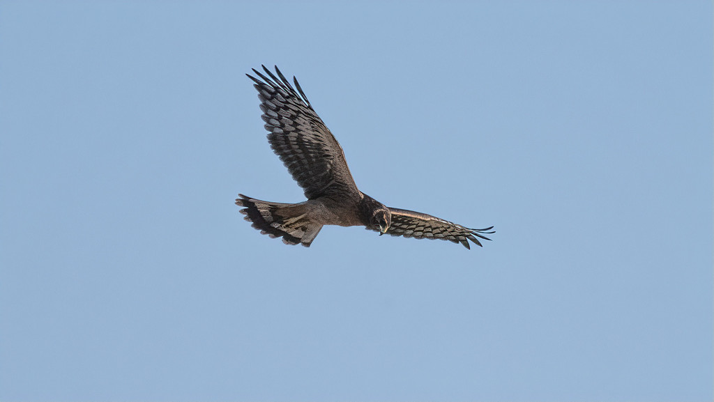 Northern Harrier in Flight by mikegifford