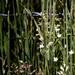 Glade sandwort
