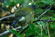 27th May 2020 - Bellbird singing