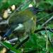 Bellbird singing