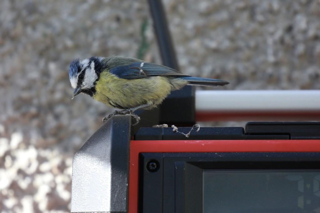 Blue Tit in the Greenhouse by jamibann