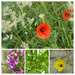 Poppies, Foxgloves, and Baby Conkers