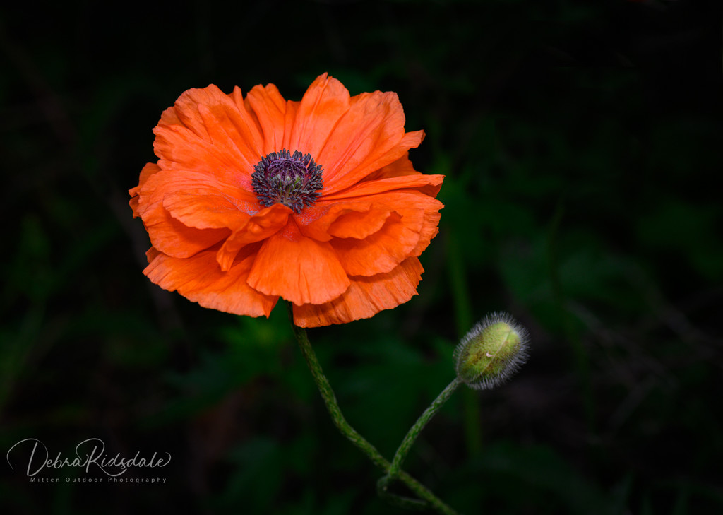 Poppies  by dridsdale
