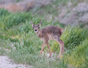 26th May 2020 - new fawn