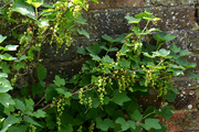 27th May 2020 - Red Currants