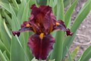 26th May 2020 - Unique Iris
