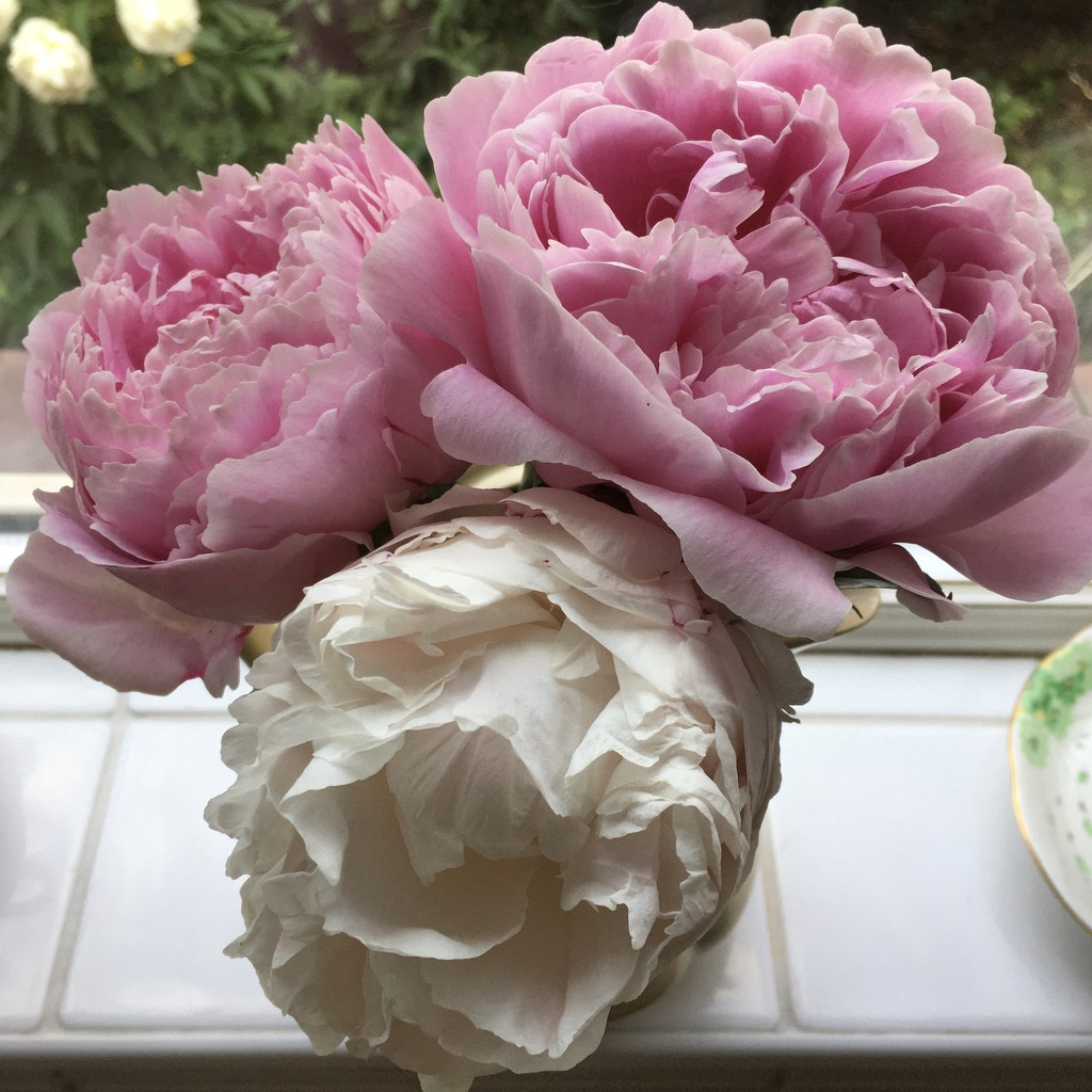 Peonies  by ottery