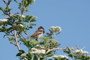 26th May 2020 - Just a Sparra