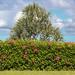 Hedge and Tree
