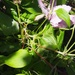 A confusion of Clematis