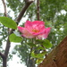 Vivid pink rose bloom