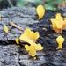 Jelly mushrooms