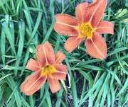 28th May 2020 - Time for the Day Lilies