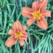 Time for the Day Lilies