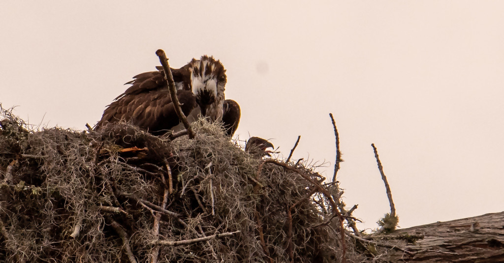 Osprey Mom and One Little Head! by rickster549