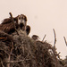 Osprey Mom and One Little Head!