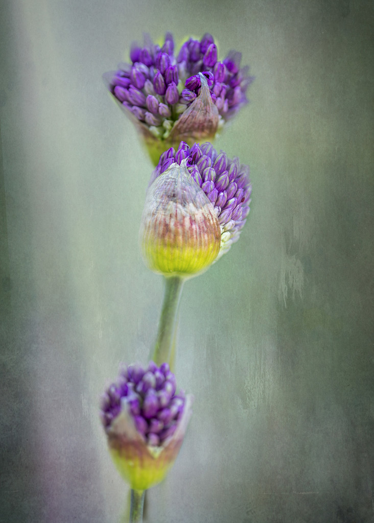 Allium Stages by taffy
