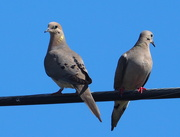 27th May 2020 - 2 Doves on a Telephone Wire