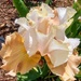 Champaign Bearded Iris
