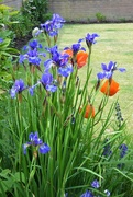 28th May 2020 - Irises and poppies