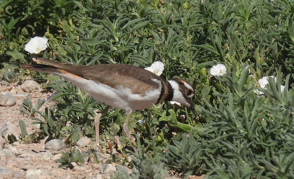 Killdeer Feeding its Young by janeandcharlie
