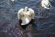 3rd May 2020 - Swan