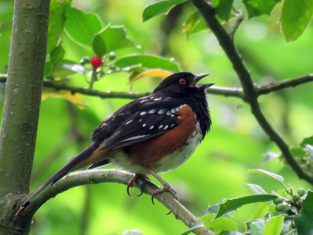Singing Spotted Towhee by seattlite