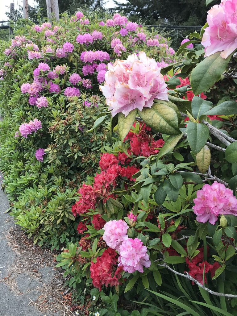 Rhododendrons  by pandorasecho