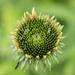 Echinacea by k9photo