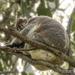 klassic koala