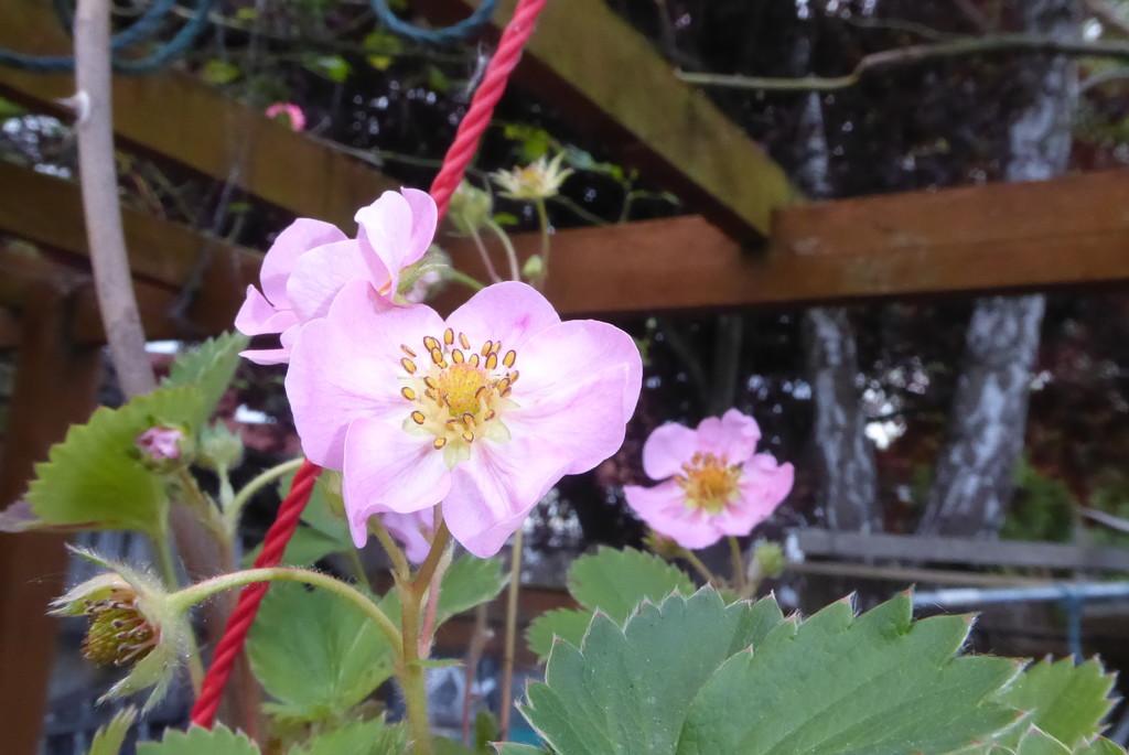 Strawberry flowers by speedwell