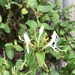 Honeysuckle Rose