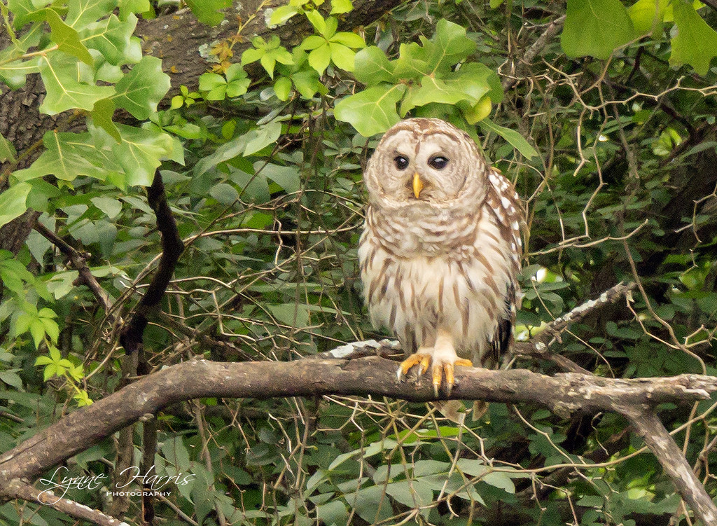 Barred Owl by lynne5477