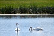 27th May 2020 - Trumpeter Swan Pair #2