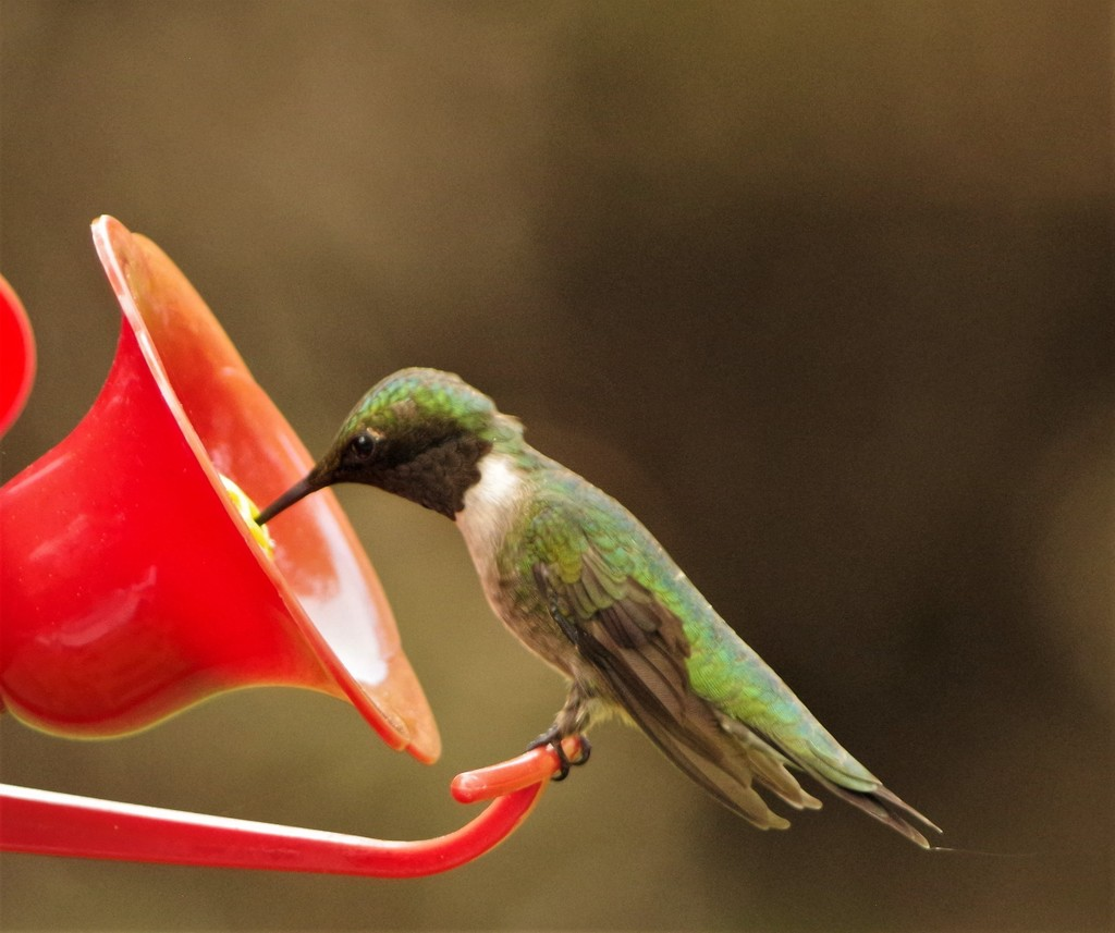 Ruby- throated Hummingbird  by radiogirl