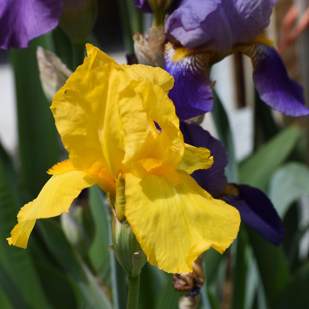 Yellow Iris by bjywamer
