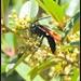 Tarantula Hawk Wasp...