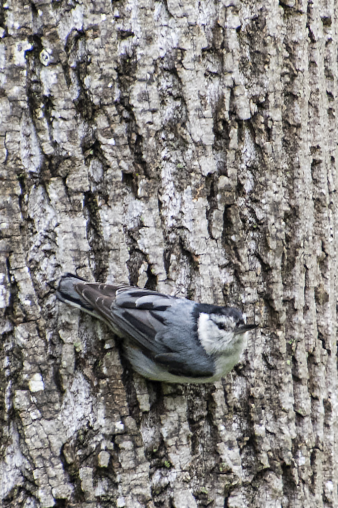 White-Breasted Nuthatch by timerskine