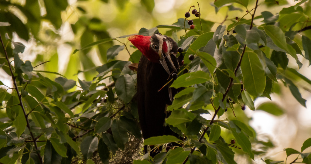 Pileated Woodpecker Going After the Berries! by rickster549