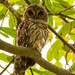 Found One of the Barred Owls Today! by rickster549