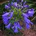 Nile Blue Lily (Agapanthus)