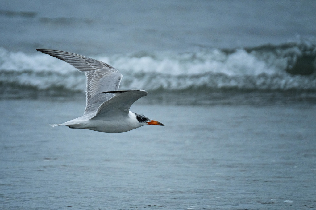 Caspian tern flying up to the river mouth by maureenpp