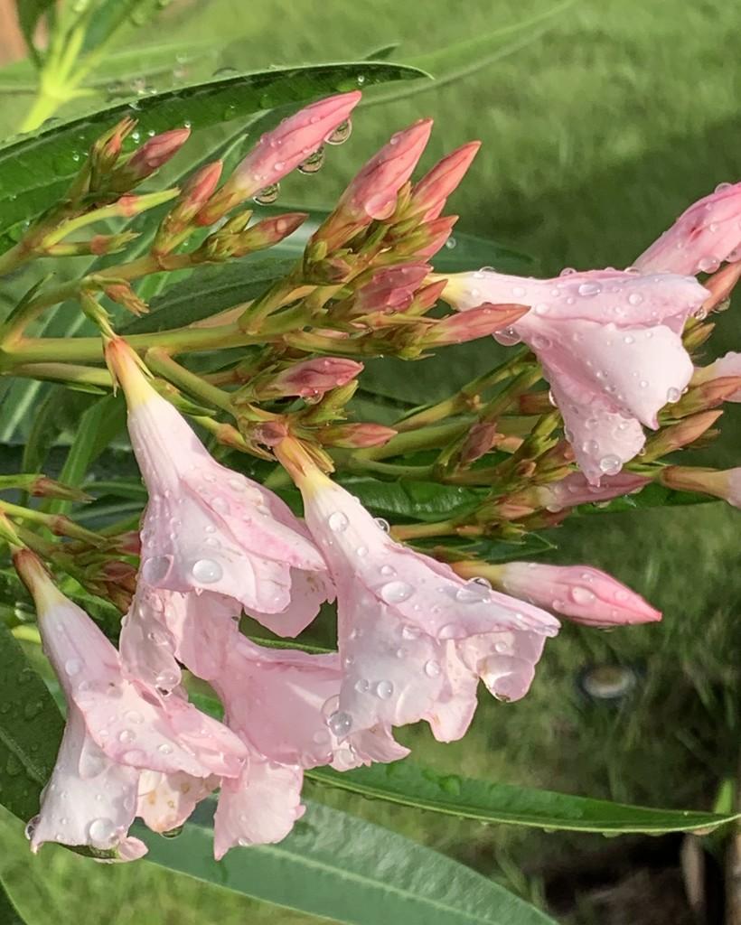 Petite pink Oleanders by louannwarren